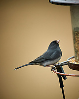 Dark-eyed Junco. Image taken with a Nikon D5 camera and 600 mm f/4 VR lens (ISO 1600, 600 mm, f/4, 1/250 sec)