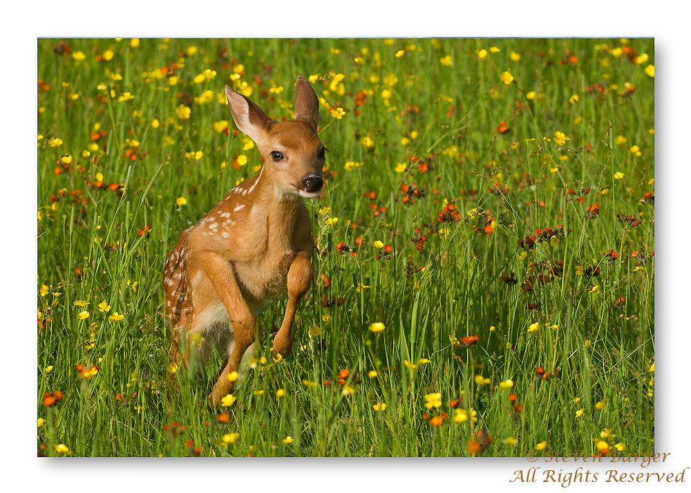 Whitetail fawn running in a field of flowers in Minnesota.