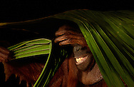 Deutschland, DEU, Krefeld, 2004: Projekt ueber die biologischen Wurzeln der Mode. Die Shootings hierfuer wurden mit Grossen Menschenaffen, die dem Menschen am naechsten sind, im Krefelder Zoo gemacht. Die Tiere waren weder zahm noch trainiert. Die Kleidungsstuecke wurden in die Gehege geworfen und was immer die Tiere damit anstellten, taten sie aus sich selbst heraus. Ein Eingreifen oder gar eine Regie war unmoeglich. Da das Verhalten der Affen im Mittelpunkt stand, wurden die Hintergruende von den Originalfotografien entfernt. Das Orang-Utan-Weibchen Sita mit einem Palmenzweig. | Germany, DEU, Krefeld, 2004: Project to look at the basics and roots of fashion. The shootings took place in the Zoo Krefeld with three species of Great Apes who are the nearest to us. The animals were neither tamed nor trained. Whatever the animals did, they did on their own. Any intervention or directing was impossible. To set the focus on the behaviour of the animals itself we removed the background from the original photographs. Orang Utan (Pongo pygmaeus) female Sita with palm leaf. |