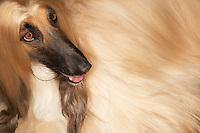 Afghan hound close-up