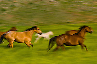 Wild quarter horses running through a field of sweet clover in Hell's Canyon, Black Hills Wild Horse Sanctuary, Hot Springs, South Dakota USA