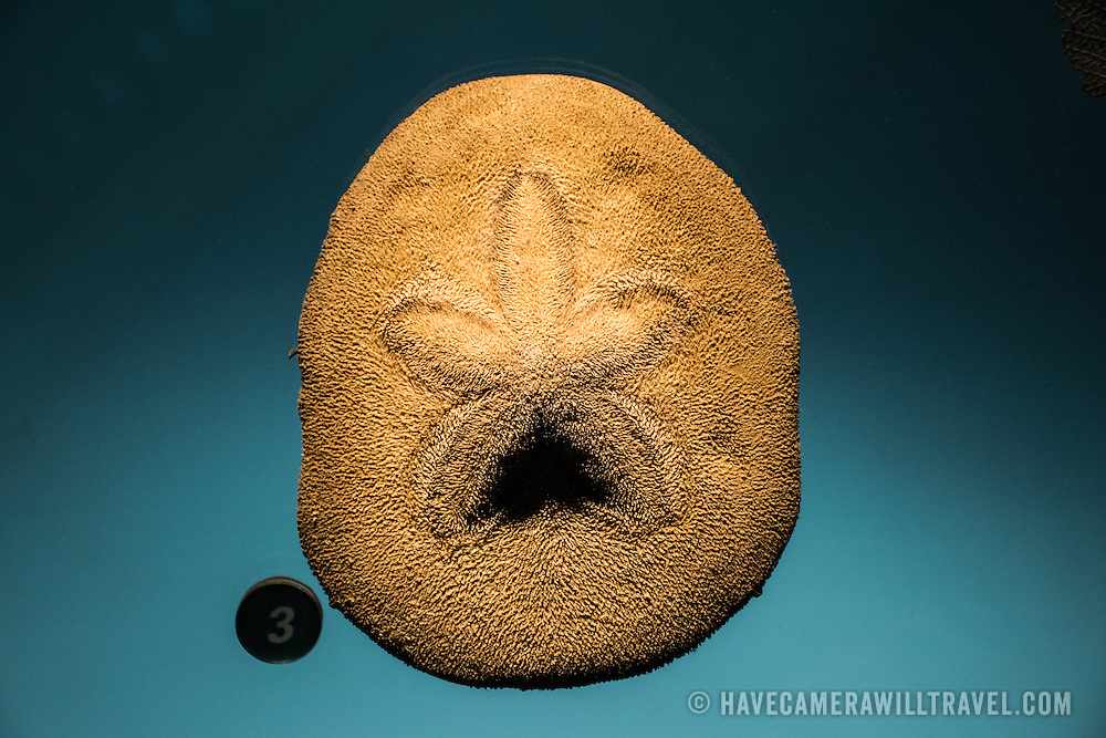 A sand dollar on display at the Smithsonian National Museum of Natural History on the National Mall in Washington DC.