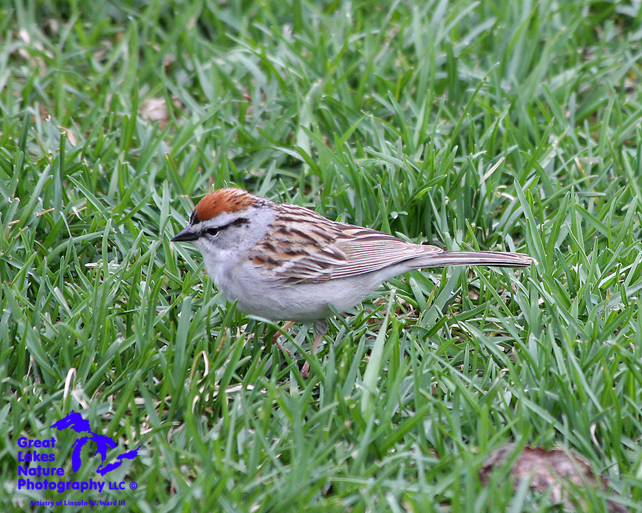 Chipping Sparrows are beautifully marked, and are plentiful in Wisconsin and throughout the Great Lakes region. Unlike the House Sparrow, the Chipping Sparrow is a native American species.