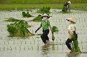 Planting rice, near Hue, Central Vietnam