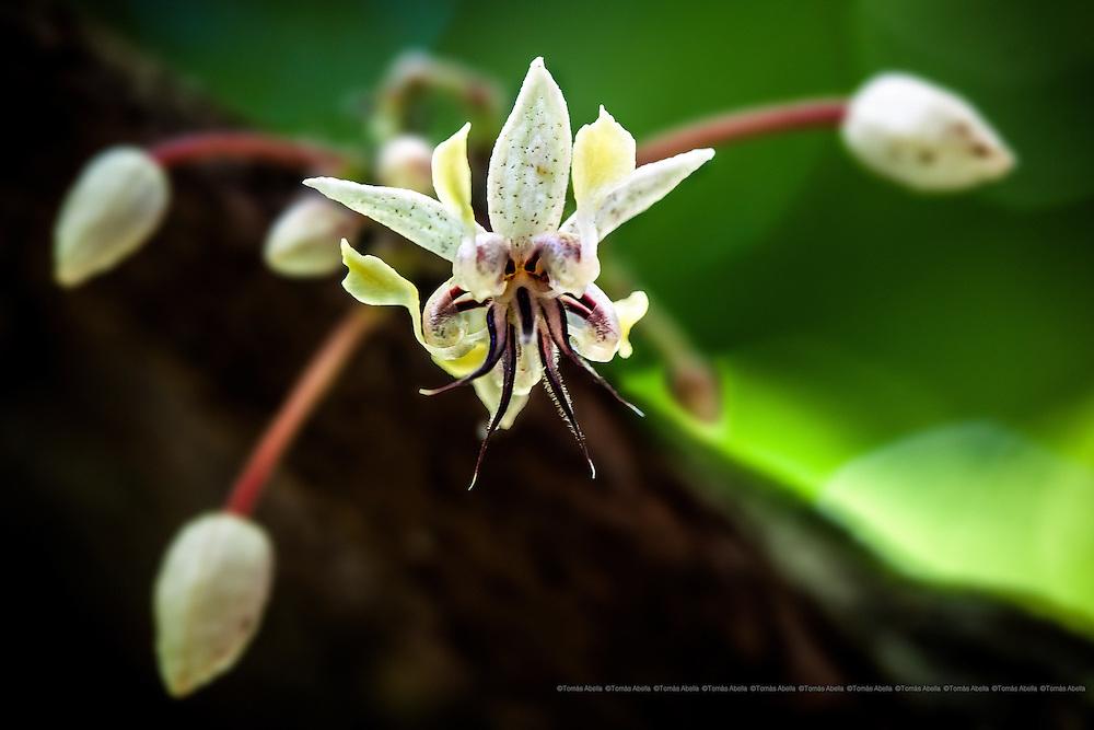 Saving Mexican criollo cocoa (Royal Cocoa of Soconusco).<br /> <br /> Cacao flower.