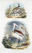 Top: Male Little Bustard. Bottom: Great Bustard (Otis tardis).   The Great Bustard became extinct in Britain in about 1830 as its habitat disappeared. A programme of reintroducing it with Russian stock is in progress. From 'The British Cyclopaedia of Arts and Sciences', Charles Partington (London, 1835). Hand-coloured engraving.