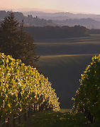 WillaKenzie Estate Vineyards, Yamhill-Carlton, Willamette Valley, Oregon