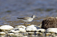 Lesser Yellowlegs (Tringa flavipes), in Bow River, Fish Creek Provincial Park, Calgary, Alberta, Canada   Photo: Peter Llewellyn