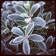 Frosty Plant Leaves