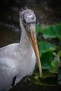 "The wood stork (Mycteria americana) is a large American wading bird in the stork family Ciconiidae. It was formerly called the ""wood ibis"", though it is not an ibis. As of June 26, 2014 it is classified as a threatened species in the United States by the U.S. Fish & Wildlife Service"