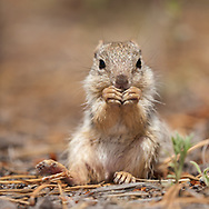 Young rock squirrel sits up to nibble somthing it found on the floor of a of a ponderosa pine forest, Kaibab National Forest, AZ, © 2006 David A. Ponton