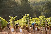 Harvesting pinot noir, Jesse''s  block at Cristom estate vineyard, Eola-Amity Hills, Willamette Valley, Oregon