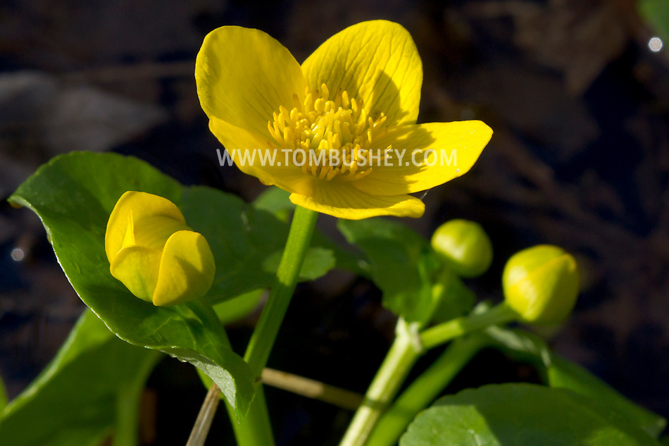 Scotchtown, New York - A blooming marsh marigold at Highland Lakes State Park on April 22, 2013.