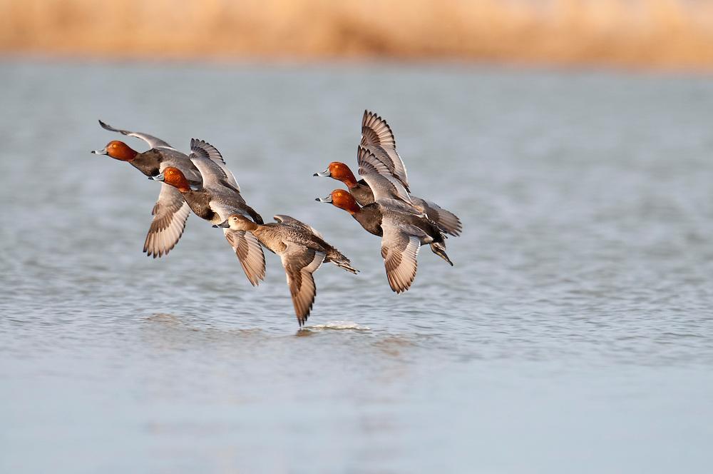 Redheads, Aythya americana, courtship flight, Saginaw Bay, Michigan