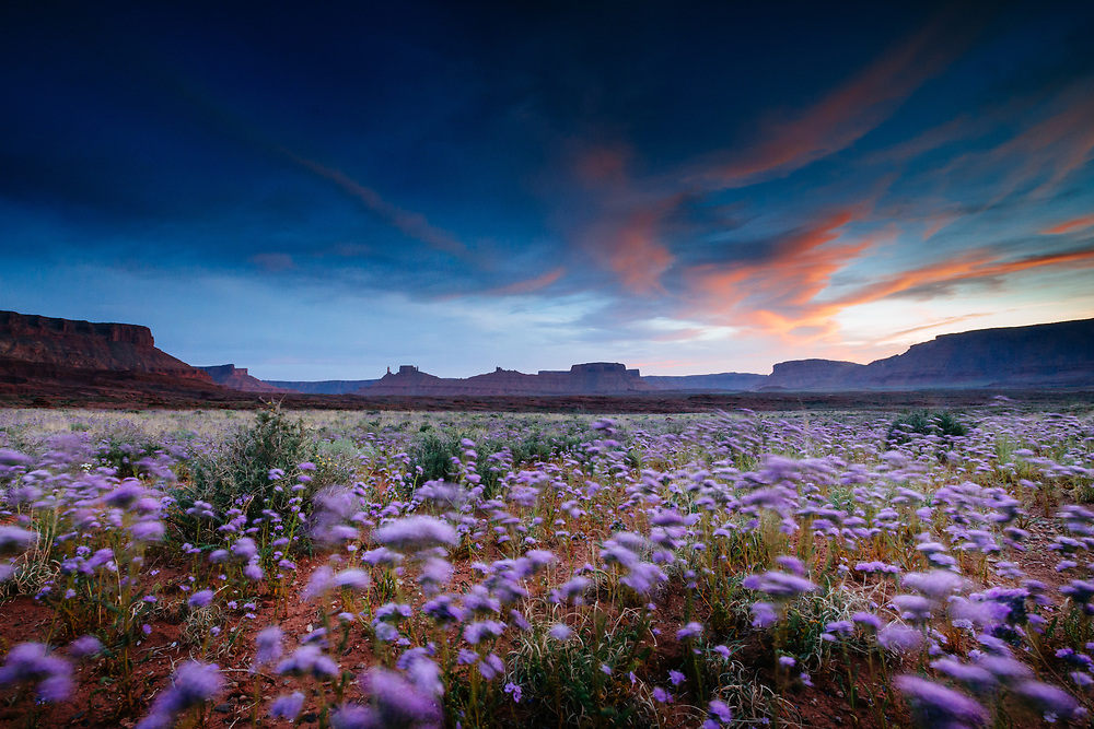 Purple flowers bloom in early spring in the desert eco-system surrounding Fisher Towers near Moab, Utah.
