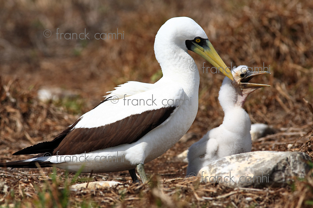 white booby Sula leucogaster is a large seabird of the gannet family of the Abrolhos island bahia state brazil