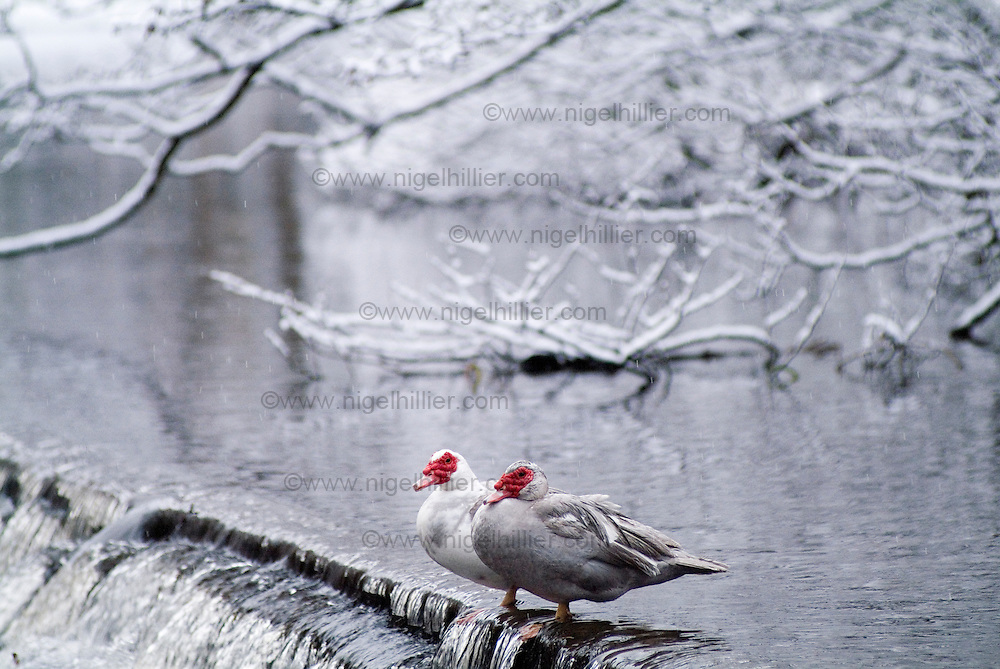 Muscovy ducks in the snow, hebden bridge