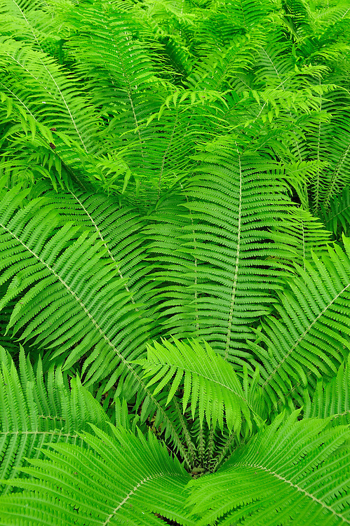 Fern, Moricsala Strict Nature Reserve, Moricsala Island, Lake Usma, Latvia
