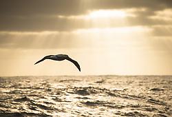 Antipodean Albatross (Diomedea antipodensis) near Antipodes Islands, New Zealand