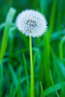 Closeup view of a single dandelion plant showing its achenes or dandelion clocks. Seattle, Washington, USA.