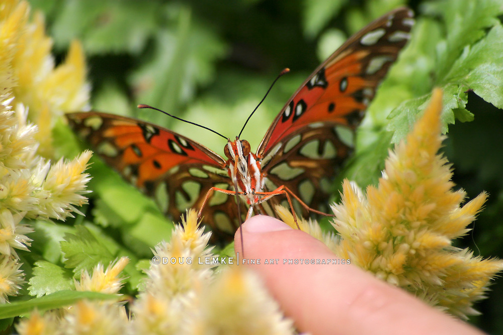 Butterfly, A Gulf Fritillary Stepping Onto A Child's Finger, Agraulis vanillae,