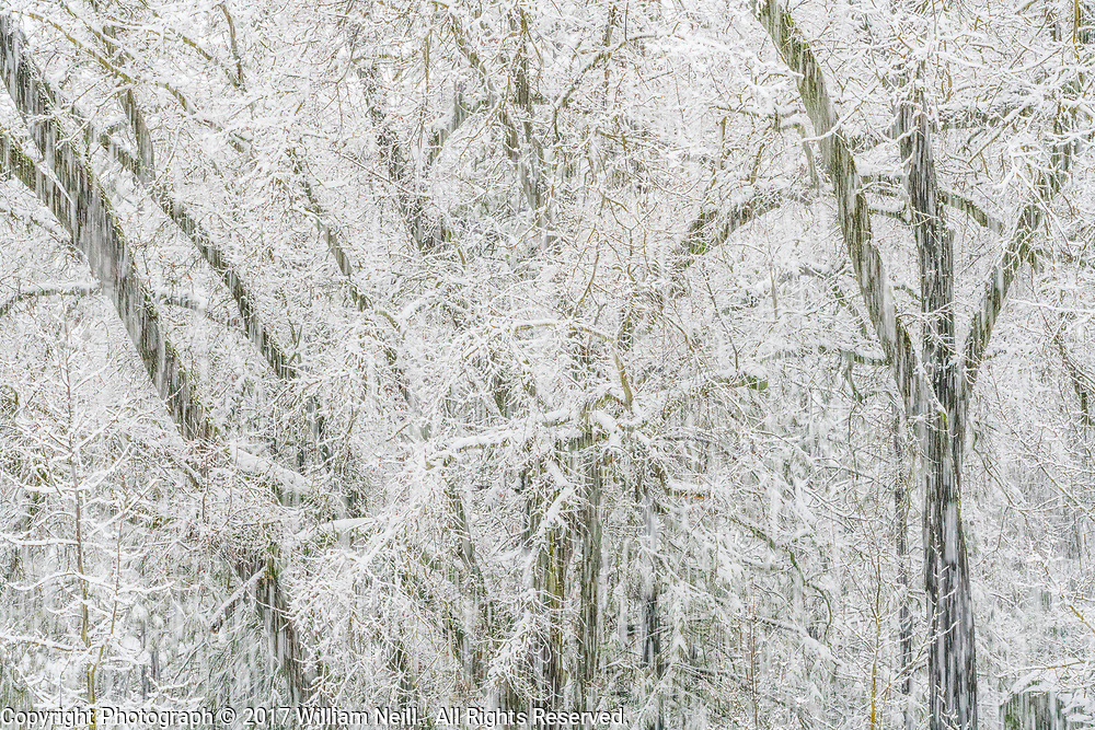 Oaks in Snowstorm, Ahwahnee, California 2017