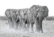 A small group of bull African elephants wearily trudge towards a water hole on the dusty plains of Etosha National Park in Namibia, Africa