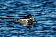 A red breasted merganser swimming in Provincetown Harbor