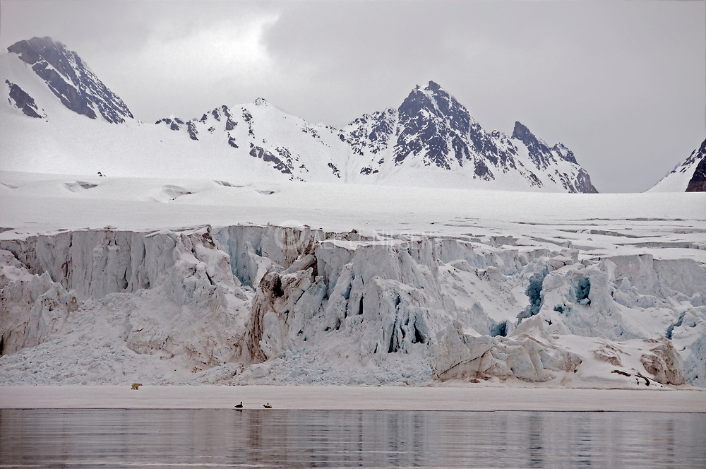 Dramatic panorama from Raudfjorden, northern Spitsbergen (Svalbard), with a Polar Bear walking in from of a huge glacier.