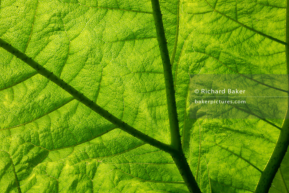 A detail on the underside of a giant leaf of Gunnera manicata at The Royal Botanic Garden Edinburgh (RBGE), on 26th June 2019, in Edinburgh, Scotland. Gunnera manicata, known as Brazilian giant-rhubarb giant rhubarb, or dinosaur food, is a species of flowering plant in the Gunneraceae family from Brazil. It is a large, clump-forming herbaceous perennial growing to 2.5 m (8 ft) tall by 4 m (13 ft) or more.