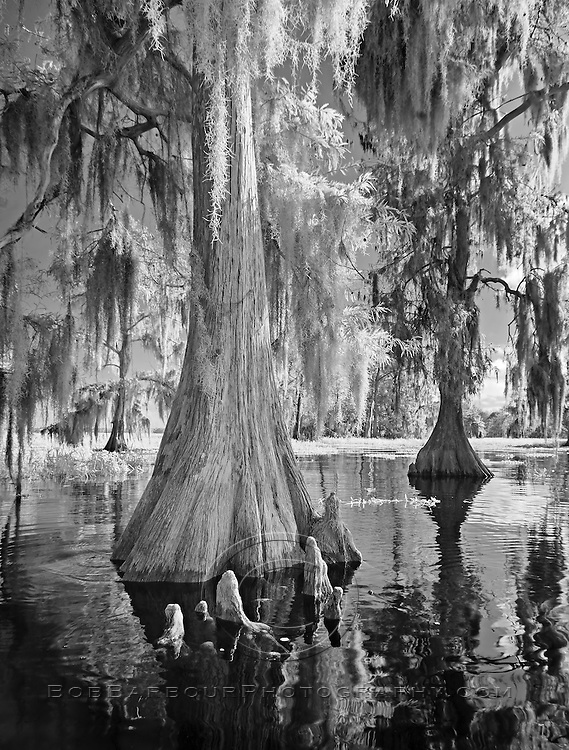 Infrared photo of cypress tree and knees at Blue Cypress Lake, Florida