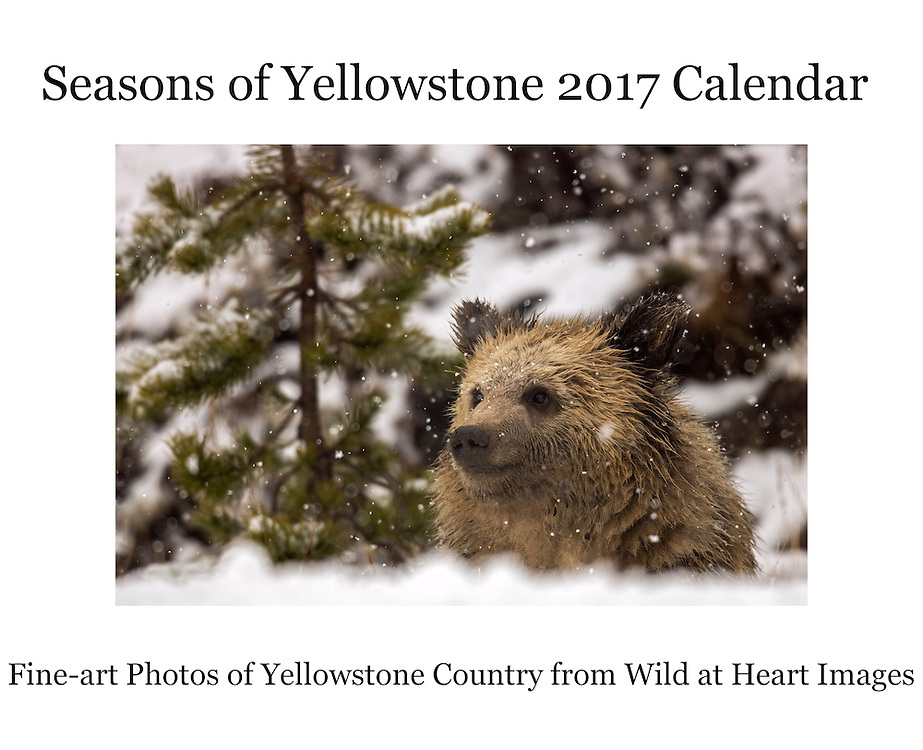 "The Wild at Heart Images' Seasons of Yellowstone 2017 Calendar is now available for purchase. This 14""x22"" wall calendar features some of our favorite images of wildlife from the Greater Yellowstone Ecosystem, including bears, bison, moose and more. The over-sized calendar has larger date grids, providing more room for keeping track of important dates and appointments. As our best-selling item, the Seasons of Yellowstone 2017 Calendar is a must for anyone who loves Yellowstone and wildlife."