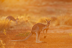 Red kangaroos  (Macropus rufus)  sit backlit in the desert,  Sturt Stony Desert,  Australia