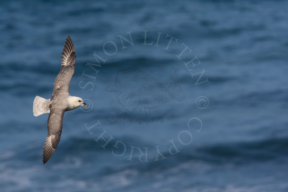 Northern Fulmar (Fulmaris glacialis) adult in flight over sea, Northumberland, England