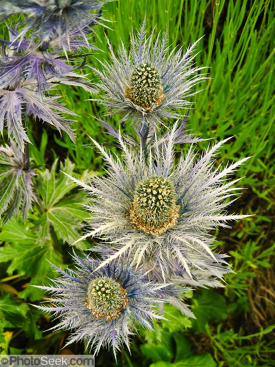 An interesting purple-gray spiky leaf flower grows at Cedarbrook Lavender and Herb Farm at the Sequim Lavender Festival held mid July on the Olympic Peninsula in Washington, USA.