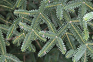 Spanish (Hedgehog) Fir Abies pinsapo (Pinaceae) HEIGHT to 25m. Shapely at first, becoming open-crowned and straggly with age. BARK Dark grey. LEAVES Bluish-grey, usually blunt, needles, to 1.5cm long, densely arranged all around twig. REPRODUCTIVE PARTS Small male flowers red, opening yellow; female flowers green, in upright clusters above shoot. Cones cylindrical, tapering, upright and smooth. STATUS AND DISTRIBUTION Rare native of Sierra Nevada in S Spain. Sometimes planted for ornament here; tolerates calcareous soils.