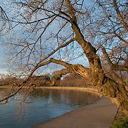 Washington DC's famous cherry blossoms before the spring bloom. Each March and April, the cherry blossoms spring into beautiful bloom in an annual event that has become a major tourism draw for the region. But the bloom comes fairly quickly, and throughout the winter the deciduous trees are bare.