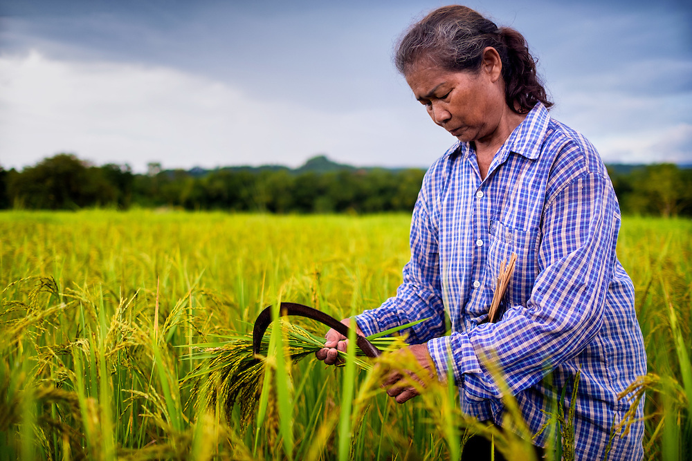 Siri, a Thai woman farmer, is hand harvesting green (or early) rice in Nakhon Nayok, Thailand. PHOTO BY LEE CRAKER