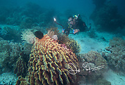 A scuba diver explores a healthy underwater reef system with a camera in Indonesia.