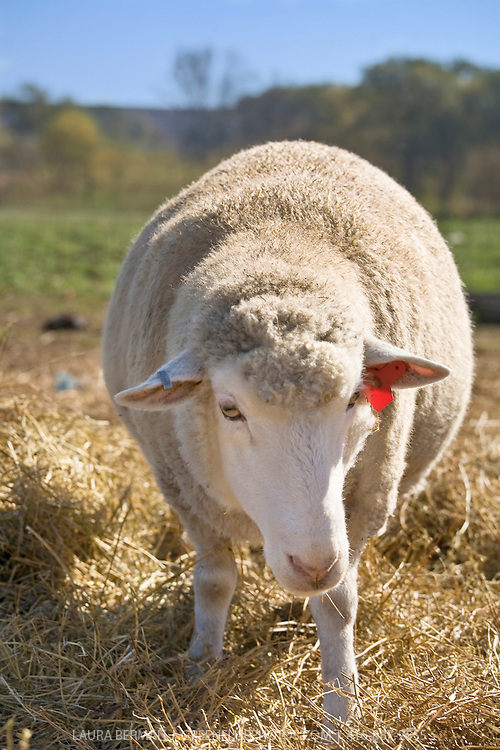 Healthy, naturally-raised sheep on the Harrison family farm in Bradford, Ontario. The sheep are raised without antibiotics or hormones.