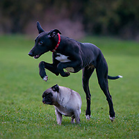 Albert jumping over the pug.