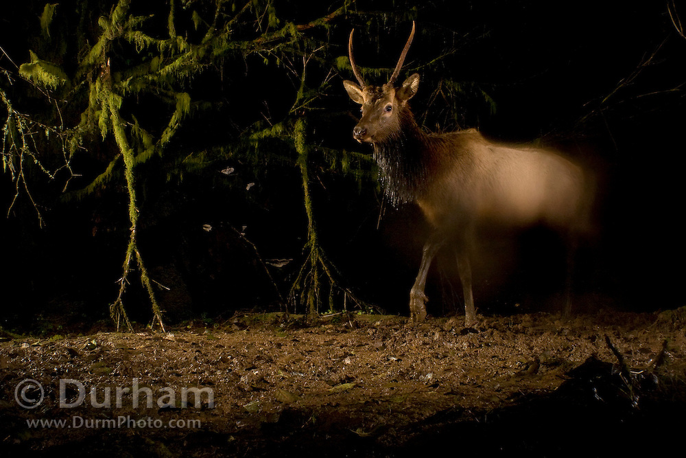 Water on the camera lens makes a spike bull roosevelt elk (Cervus canadensis roosevelti) appear as a shadowy phantom as it traverses a muddy elk trail at night near the Oregon Coast. This was photographed on a natural land preserve managed by the North Coast Land Conservancy.