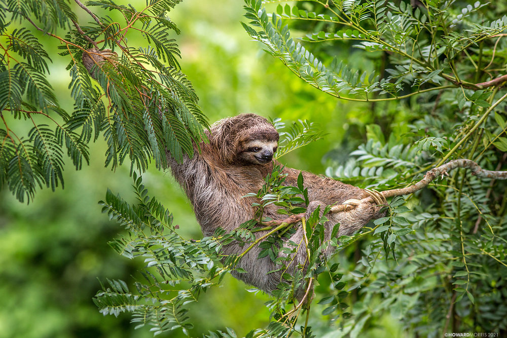 A female brown-throated three-toed sloth (Bradypus variegates), navigates the delicate transfer between trees. Moments later the branch snapped, sending the sloth 60 feet to the ground. Happily she was uninjured, and began her slow journey back into the canopy. Soberanía National Park, Panama.