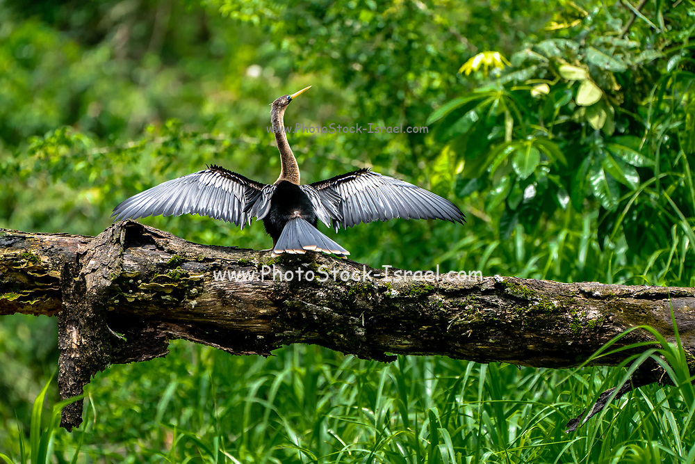 Anhinga (Anhinga anhinga) drying its feathers. This bird is around 85 centimetres long and has a wingspan of 117 centimetres. It's feathers are not waterproof and need to be dried regularly. It dives for fish and can remain underwater for long periods of time. Photographed in Costa Rica