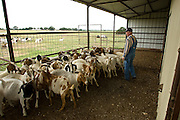Melvin Meadows raises Boer Spanish cross goats along with cattle on the Meadows Ranch in Paradise, Texas.