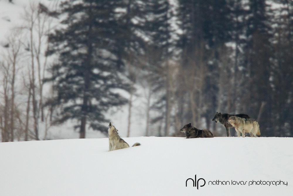 Wolf pack howling in snow after kill; Yellowstone NP in wild.