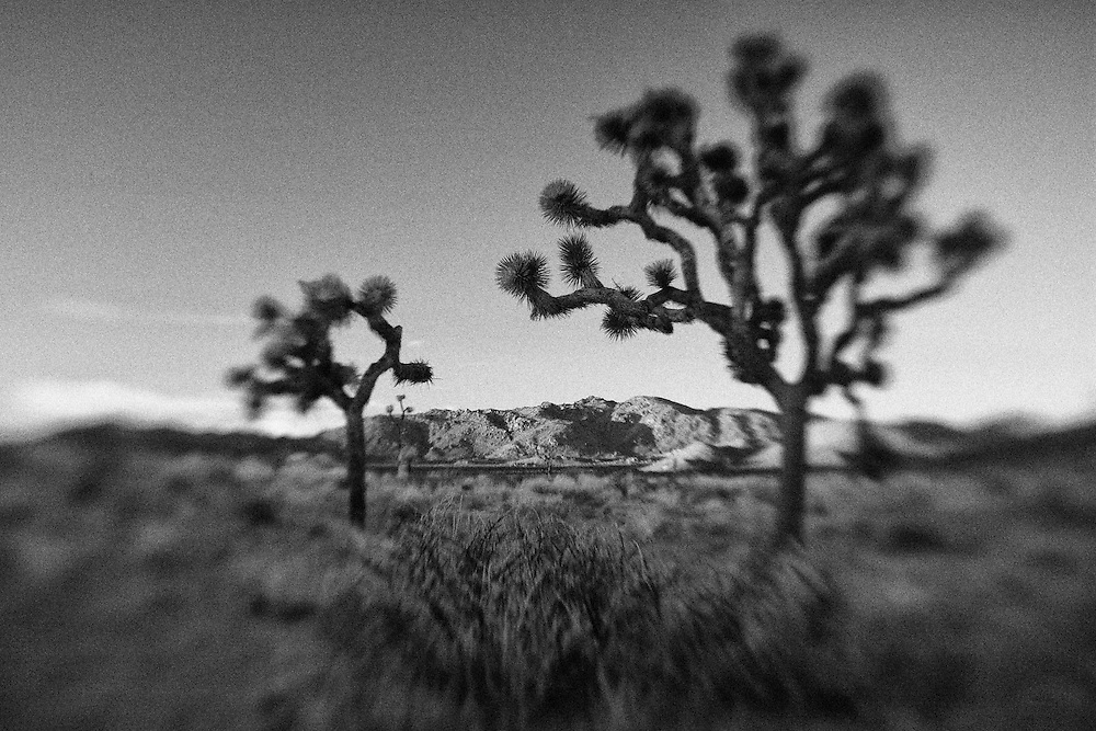 Joshua Tree Shadows At Dusk - Lensbaby - Infrared Black & White