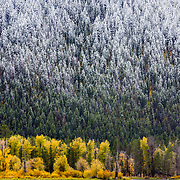 An early autumn snow storm dusts the fir trees near Oxbow Bend in Grand Teton National Park, Wyoming.