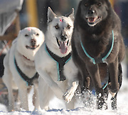 Three dogs of a team of six as they race in the 2010 Kalkaska Winterfest.