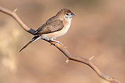 Indian silverbill (Euodice malabarica) from Jawai-area, Rajasthan, India.